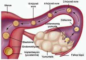 hamilelik-evreleri